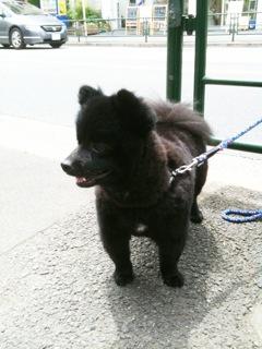 クマみたいなイヌ