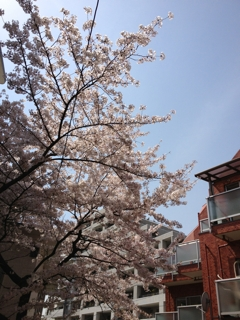 ラスト桜☆彡
