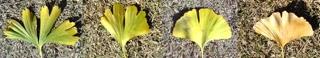 落ちてるイチョウの葉っぱたちの形で、先輩後輩が分かるんだってよd(・▽・)